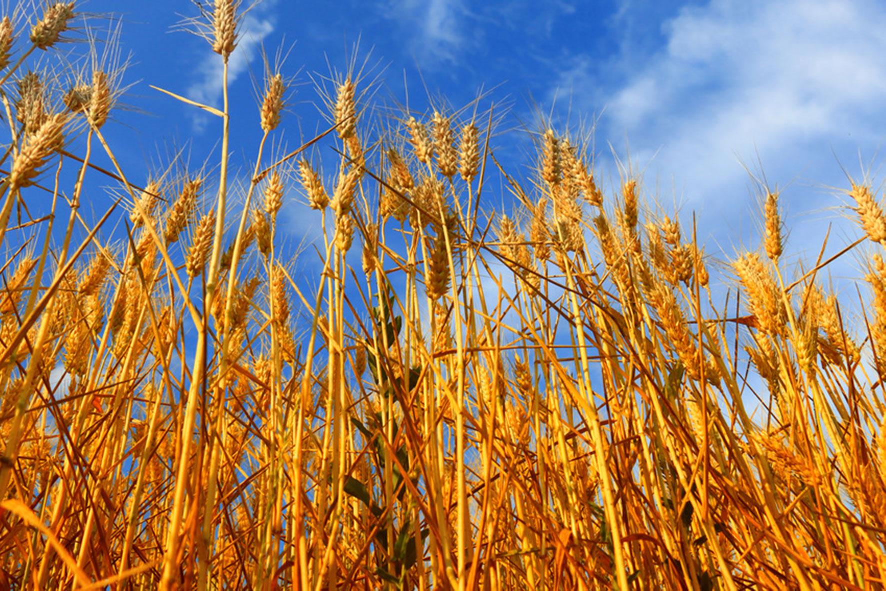 Wetter setzt Getreide zu